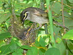 Yellow-faced-honeyeater.jpg