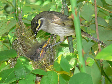 Three chicks are raised in a flimsy nest in a garden shrub. Yellow-faced-honeyeater.jpg
