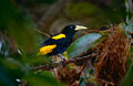 Yellow-rumped Cacique (Cacicus cela) (10624026074).jpg