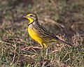 Yellow-throated Longclaw (Macronyx croceus) (21126037236).jpg