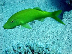 Yellowsaddle goatfish parupeneus cyclostomus.JPG