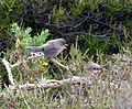 Young Dartford Warbler ....begging food - Flickr - gailhampshire.jpg
