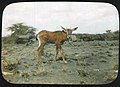 Young mammal, possibly Bovidae Oryx.jpg