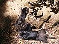 Young tasmanian devils.jpg