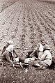 Zamušani na Ptujskem polju 1962.jpg