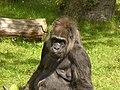 Zoo Berlin - Gorilla - geo.hlipp.de - 40690.jpg