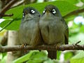 Zosterops chloronothos-pair.jpg