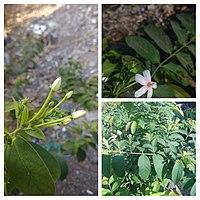 """""""Arya"""" Combretum indicum in Pilangsari 2019 collage.jpg"""