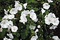 'Lavatera trimestris' Clavering Essex England 1.jpg
