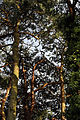 'Pinus sylvestris' Scots Pine at Staplefield, West Sussex, England 03.JPG