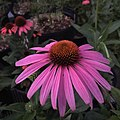 'Prairie Splendor' echinacea IMG 7758.jpg