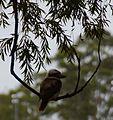 (1)Kookaburra 157.jpg