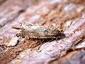 (1161) Rhopobota stagnana (34599968140).jpg