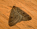 (1960) Early Moth (Theria primaria) (6670074759).jpg