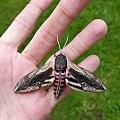 (1976) Privet Hawk-moth (Sphinx ligustri) (35234735815).jpg
