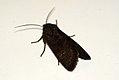 (2231) Deep-brown Dart (Aporophyla lutulenta) (3927548268).jpg