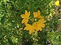 (Crossandra infundibuliformis) fire cracker flower at Bhadrachalam 05.JPG