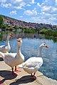 Λίμνη Καστοριάς, παρέα πουλιών.jpg