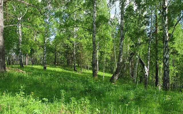 Фото хвойного леса