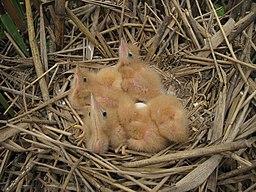 Гнездо малой выпи на оз. Больничном