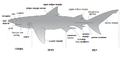 Делови тела ајкуле.png