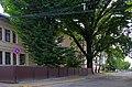 Дуб на вулиці 28 Червня в Чернівцях DSC 9881.jpg