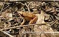 Лягушка травяная Альбом KR.jpg