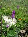 Орхидея и панаска детелина 03.jpg