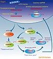 ПиРНК-индуцированное подавление транспозонов.jpg