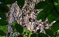 Сирецький гай Пташеня дятла DSC 0867.jpg