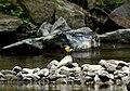 Скелі Довбуша Самка плиски гірської DSC 0556.jpg