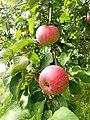 Яблоки на яблоне. Ботаника.jpg