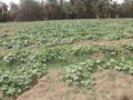 الزراعة في السكوت.png