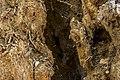 داخل درخت گردو - juglans 01.jpg