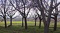 درختان گردو در روستای قلعه اجل بیگ - panoramio.jpg