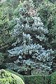 ნაძვი ჩხვლეტია Picea pungens Blaufichte.JPG