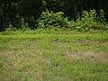 カケス(橿鳥-懸巣-鵥)(Garrulus glandarius)(Eurasian jay) (7254253630).jpg