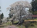 七草木の天神桜 - panoramio.jpg