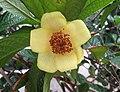 凹脈金花茶 Camellia impressinervis -香港公園 Hong Kong Park, Hong Kong- (39897970614).jpg