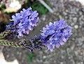 加那利薰衣草 Lavandula canariensis -比利時國家植物園 Belgium National Botanic Garden- (9198134471).jpg