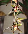 報歲小香玉 Cymbidium sinense 'Small Fragrant Jade' -香港沙田國蘭展 Shatin Orchid Show, Hong Kong- (12221135933).jpg