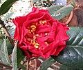 山茶雲茶雜交 Camellia (reticulata x japonica) Dr Clifford Parks -昆明植物園 Kunming Botanic Gardens, China- (39571894754).jpg