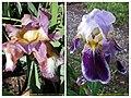 德國鳶尾-高大型 Iris germanica Tall-bearded cultivars -華沙大學植物園 Warsaw University Botanic Garden- (35664984904).jpg