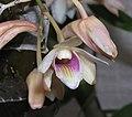 扁石斛 Dendrobium platygastrium -香港青松觀 Tuen Mun, Hong Kong- (9255187578).jpg