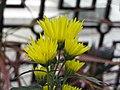 日本嵯峨菊-嵯峨之旅 Chrysanthemum morifolium 'Saga' -台北士林官邸 Taipei, Taiwan- (9213306007).jpg