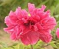日本牡丹-花王 Paeonia suffruticosa Kao -菏澤曹州牡丹園 Heze, China- (12517374004).jpg