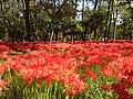 日高市高麗川の巾着田 - panoramio.jpg