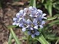 楔灣缺秦艽 Gentiana olivieri -倫敦植物園 Kew Gardens, London- (9200909838).jpg