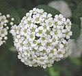 毛果繡線菊 Spiraea trichocarpa -瀋陽植物園 Shenyang Botanical Garden, China- (9227118455).jpg