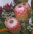 海神花屬 Protea Susara -香港花展 Hong Kong Flower Show- (9207600632).jpg